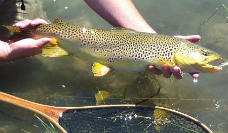 Colorado brown trout fishing